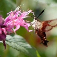 Have You Seen Any Hummingbird Clearwing Moths?