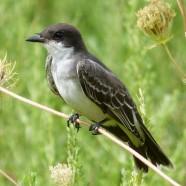 Eastern Kingbird (Tyrannus tyrannus) by Scott Kruitbosch