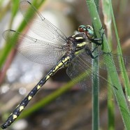 Delta-spotted Spiketail: New Chautauqua County Record