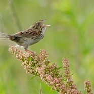 Rare Henslow's Sparrows Recently Discovered at Chautauqua County Airport