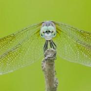 Blue Dasher (Pachydiplax longipennis) by Twan Leenders