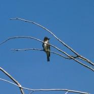 Olive-sided Flycatcher (Contopus cooperi) by Scott Kruitbosch