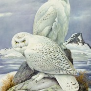 Snowy Owls (Bubo scandiacus) by Roger Tory Peterson