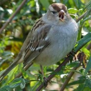 White-crowned Sparrow (Zonotrichia leucophrys) by Scott Kruitbosch