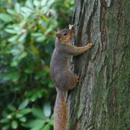 Fox Squirrel (Sciurus niger) by Scott Kruitbosch