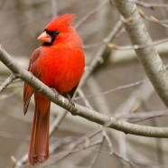 Northern Cardinal (Cardinalis cardinalis) by Twan Leenders
