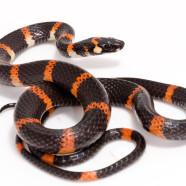 Halloween Snake (Urotheca euryzona) by Twan Leenders