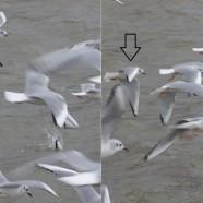Bonaparte's Gulls in a feeding frenzy