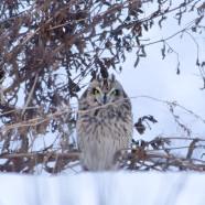 Short-eared Owl (Asio flammeus) by Twan Leenders