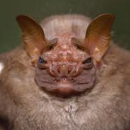 Wrinkle-faced Bat (Centurio senex) by Twan Leenders
