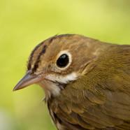 Ovenbird (Seiurus aurocapillus) by Sean Graesser
