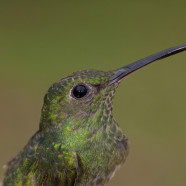 Scaly-breasted Hummingbird (Phaeochroa cuvierii) by Sean Graesser