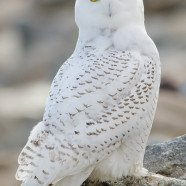 Shooting Snowy Owls at airports