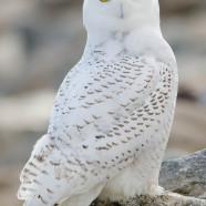 Shooting Snowy Owls at airports