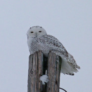 Snowy Owl photos: a day in the life