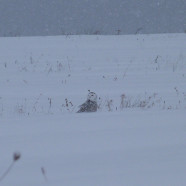 Jamestown Christmas Bird Count Tomorrow – Snowy Owl in 2013