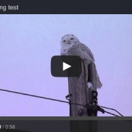 Snowy Owl video: hearing test