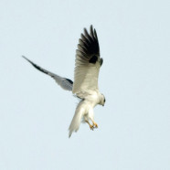 White-tailed Kite (Elanus leucurus) by Twan Leenders
