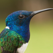 Hummingbird banding begins