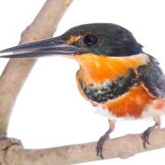 American Pygmy Kingfisher (Chloroceryle aenea) by Twan Leenders