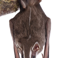 Tent-making Bat (Uroderma bilobatum) by Twan Leenders