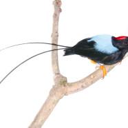 Long-tailed Manakin (Chiroxiphia linearis) by Twan Leenders