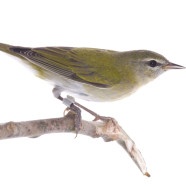 Tennessee Warbler sightings and numbers