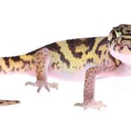 Central American Banded Gecko (Coleonyx mitratus) by Twan Leenders
