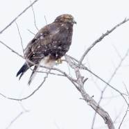 Rough-legged Hawk (Buteo lagopus) by Twan Leenders