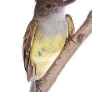Dusky-capped Flycatcher (Myiarchus tuberculifer) by Twan Leenders