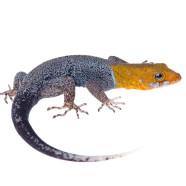 Yellow-headed Gecko (Gonatodes albogularis) by Twan Leenders