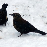 Rusty Blackbird Blitz Begins