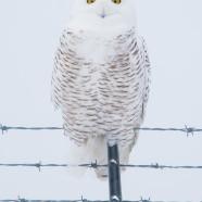 Snowy Owl (Bubo scandiacus) by Twan Leenders