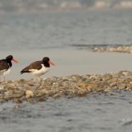 Shorebirds are arriving