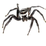 Jumping Spider (Phiale formosa)