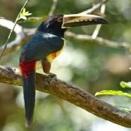 Collared Aracari (Pteroglossus torquatus) by Twan Leenders