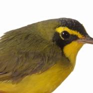Kentucky Warbler (Geothlypis formosa) by Sean Graesser