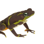 Checking on the Limosa Harlequin Frog