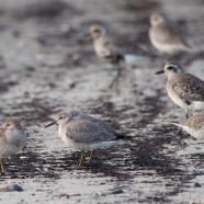 Red Knots Federally Threatened