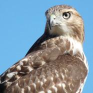 Hawk watching and HMANA