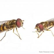 American Hoverfly (Eupeodes americanus) by Sean Graesser