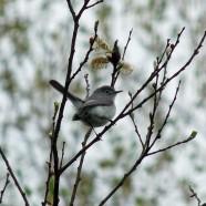 Blue-gray Gnatcatcher (Polioptila caerulea) by Scott Kruitbosch