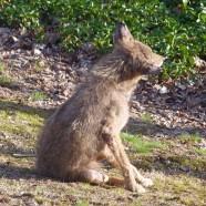 Coyote advisement in Connecticut