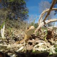 Eastern Garter Snake (Thamnophis sirtalis) by Elyse Henshaw