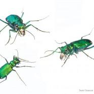 Six-Spotted Tiger Beetle (Cicindela sexguttata) by Sean Graesser