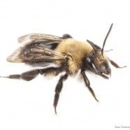 Southeastern Blueberry Bee (Habropoda laboriosa)
