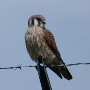 American Kestrel (Falco sparverius) by Scott Kruitbosch