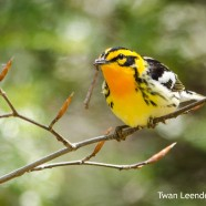 Blackburnian Warblers feeding and video