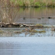 Blue-winged Teal (Anas discors) by Scott Kruitbosch