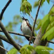 Chestnut-sided Warbler close-ups